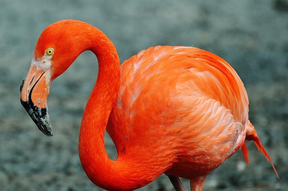 flamingo-1346642_960_720