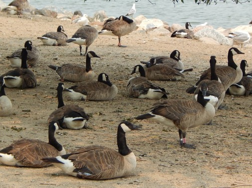 canada-geese-826022_640