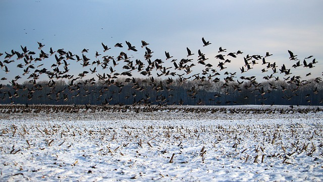 wild-geese-1148985_640